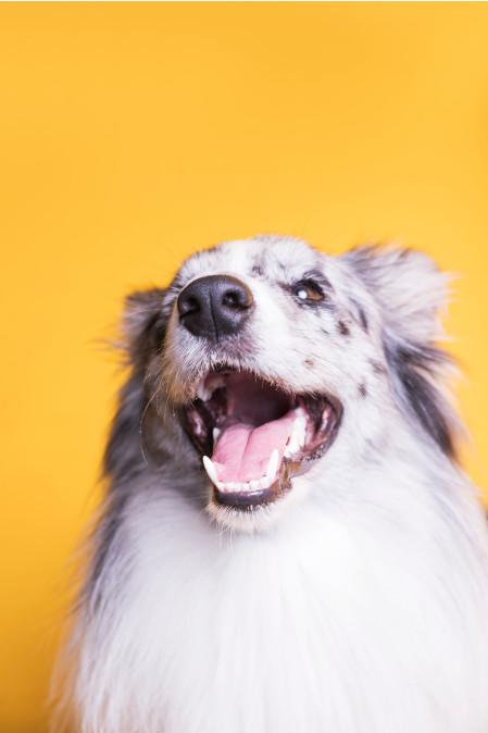bordercollie face soddisfatto divertito happy dog lover